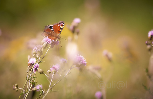 Tagpfauenauge / Peacock Butterfly / Aglais io ( explored )