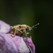 Weevil on Obedient Plant (Physostegia virginiana)