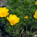 Frühlings Adonisröschen, IMG_5985_b-2