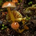 May 2, 2015 - 15:54 - In the autumn, and early winter months, between May and July, a variety of colourful waxgills of the species Gliophorus and Hygrocybe, can be found in New Zealand native broadleaf, podocarp and Nothofagus forests, growing from leaf litter and dead wood, ofen amongst mosses. Many of them can only be positively identified by microscopic examination of the spores, but some are more easily recognised.