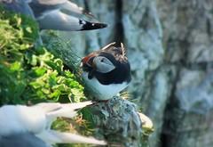 animal, puffin, fauna, beak, bird, wildlife,