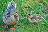 Mallard Duck and Duckling 15-MA19-0407 by digitalmarbles