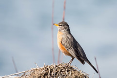 animal, robin, ortolan bunting, perching bird, wing, nature, fauna, close-up, emberizidae, beak, bird, wildlife,