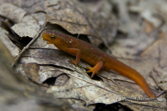 eastern newt (eft) 0001 Harriman State Park, New York, USA