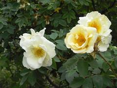 rosa wichuraiana, garden roses, flower, yellow, rosa foetida, rosa gallica, rosa rubiginosa, rosa multiflora, petal,