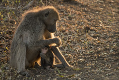 Tiny Chacma Baboon and its mama