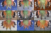 Rufous Hummingbird tail variations
