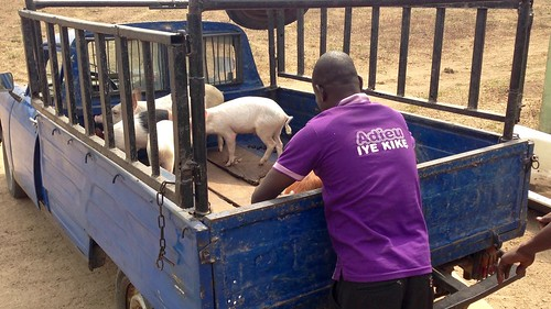 transportingpigsfromotedolaintegratedfarms peugeot404pickup odoragunshin epe lagos nigeria jujufilms africanculture photography people jujufilmstv socialmedia travel pigs