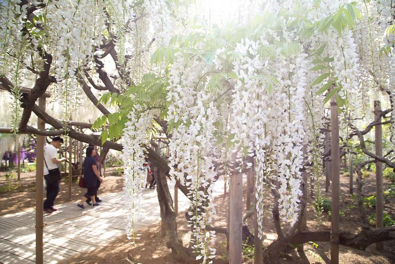 ashikaga_flowerpark-40