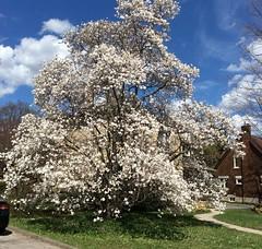 A magnolia day