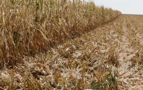 Corn residue on soil surface
