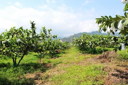 蔡鴻謨的果園。