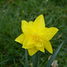 Flower - Daffodil 150426 Brodie House 150426