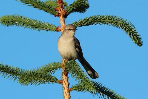 michigan northernmockingbird rare 2015 centrevillemi canoneosrebelt3i tamronsp150600mmlens