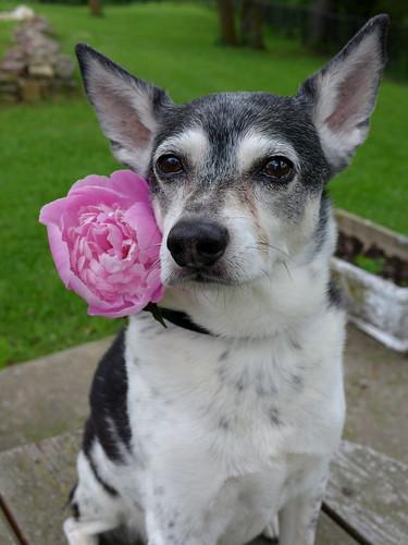 2015-05-23 - Peedee is Pretty in Peonies - 0010 [flickr]