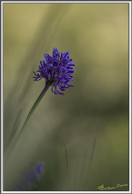 Orchis singe 25