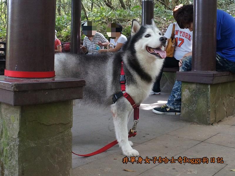 哈士奇Doggy2013陽明山二子坪11