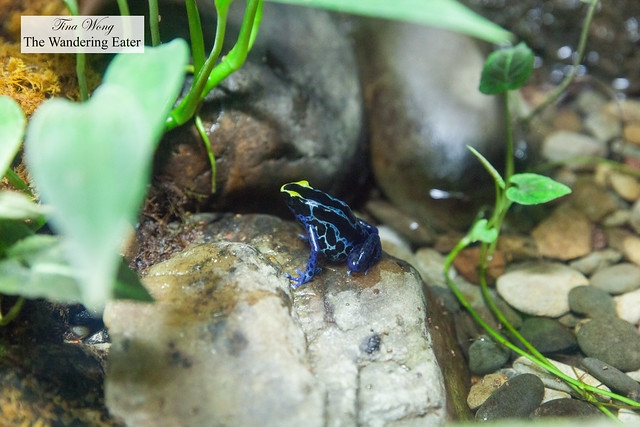 Poison dart tree frog