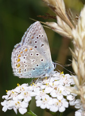 Adonis blue on yarrow