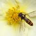 Marmalade hoverfly feeding on Potentilla #4 by Lord V