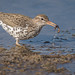 Spotted Sandpiper (Actitis macularius) by ER Post