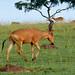 Small photo of Lelwel Hartebeest (Alcelaphus lelwel)