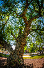 Victoria Pepper Tree