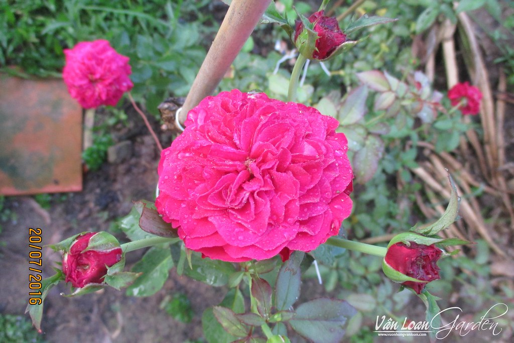 Hong leo mong thi monalisa (2)-vuonhongvanloan.com