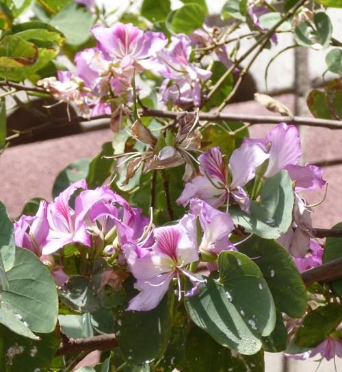 Bauhinia variegata 17346040321_cf777af478_o