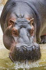 Hippo with dropping mouth