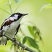 Male Chestnut-sided Warbler (Setophaga pensylvanica)