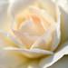 Rose by Jill-Wang