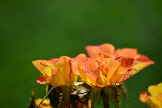 バラ Rose