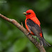 Scarlet Tanager (Breeding Male) by Jon Corcoran