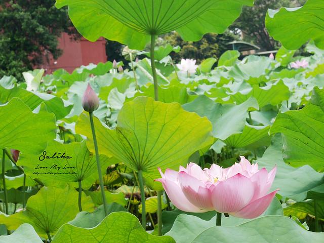 台北一日遊景點推薦植物園荷花蓮花池 (18)