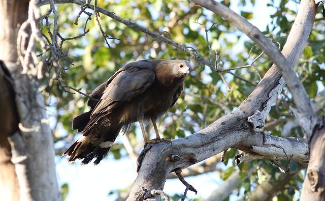 Immature African harrier-hawk (gymnogene), Polyboroides typus, at Ndumo Nature Reserve, KwaZulu-Natal, South Africa