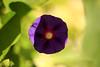purpleflower_2