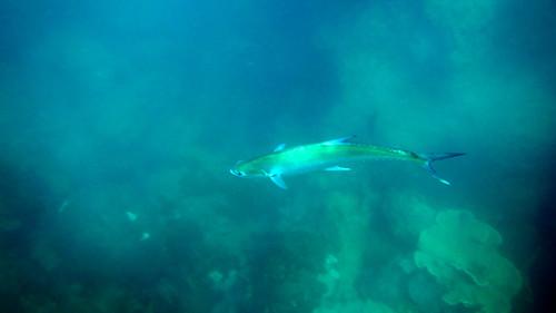 今日のサムイ島 5月3日 今年初イケガツオ-シュノーケル
