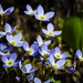 Bluets by hickamorehackamore