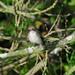 European Pied Flycather (Ficedula hypoleuca) Svartvit flugsnappare