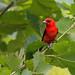 Scarlet Tanager (Piranga Olivaecea) by fmlehman