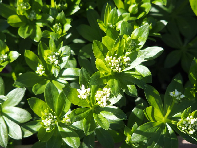 Woodruff in the sun