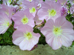 geranium cinereum(0.0), wildflower(0.0), annual plant(1.0), flower(1.0), pinkladies(1.0), plant(1.0), pink evening primrose(1.0), flora(1.0), evening primrose(1.0), petal(1.0),