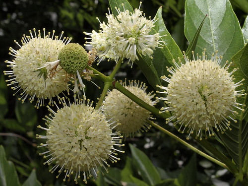 flowers arizona nature tucson wildflowers buttonwillow coronadonationalforest catalinamountains catalinas sabinocanyon santacatalinamountains cephalanthusoccidentalis cephalanthus buttonbush honeybells commonbuttonbush earthnaturelife sabinocanyon20150525