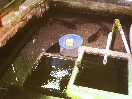 針江社區保育水質相當成功,每戶人家都有劃分三區池水,各有用途。翻攝自講師投影片。