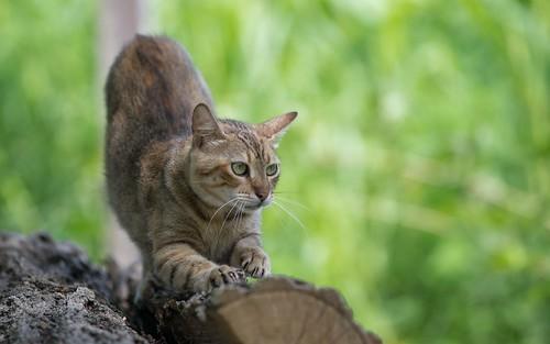 cats animals catsdogs animalplanet podravina nikkor8020028 nikond600 novovirje