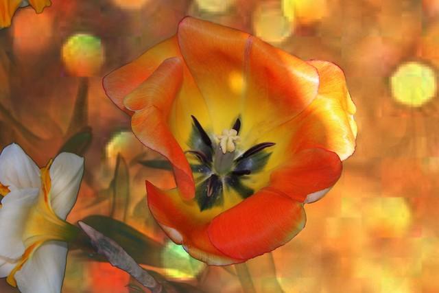 Sonnenberg Gardens & Mansion Historic Park ~ Canandaigua NY ~  Painted Tulip Bokehs