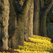 Trees and Daffodils by wentloog