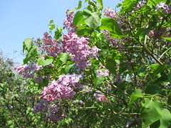 Syringa × hyacinthiflora 'Assessippi'