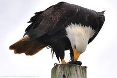 Bald Eagles - 2013